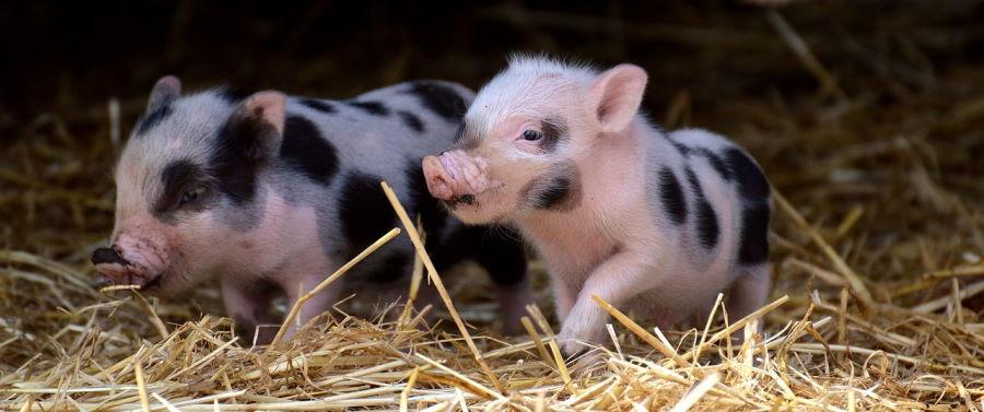 Африканская чума свиней (АЧС)